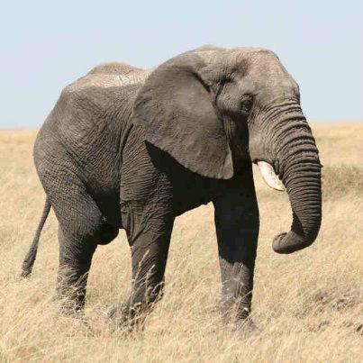 Eddie Van Halen Elephant sound
